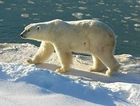 L'ours blanc - photo wikipedia